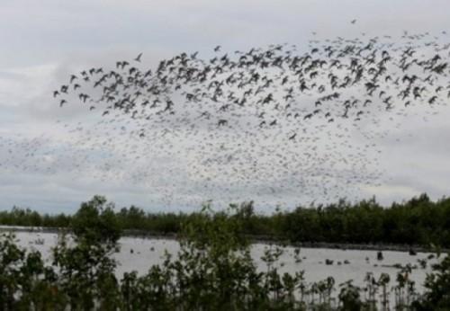 Puluhan juta burung migran dari berbagai belahan dunia menetap sementara di Semenanjung Taman Nasional Sembilang, Sungai Bungin, Banyuasin, Sumsel (FOTO ANT)